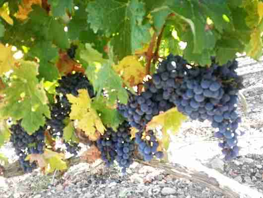 Grapes in La Rioja