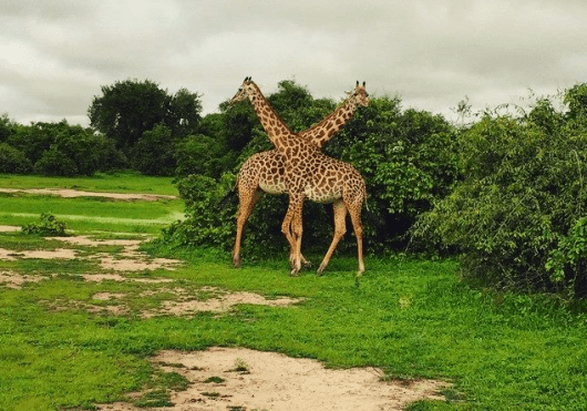 Uniquely patterned Thornicroft giraffes in Zambia