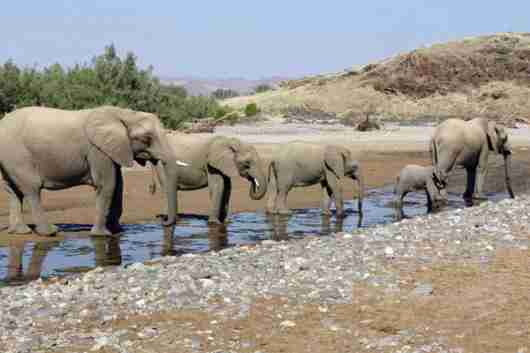 Desert elephants in the Namib. Photo credit: Skeleton Coast Safaris.