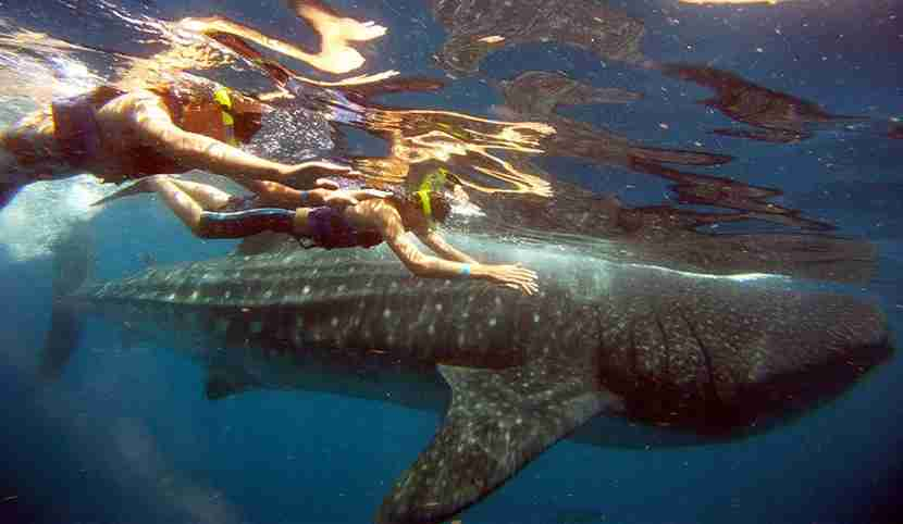 Swim with whale sharks on a family vacation to the Rivera Maya from June through August. Photo courtesy Kara Williams.