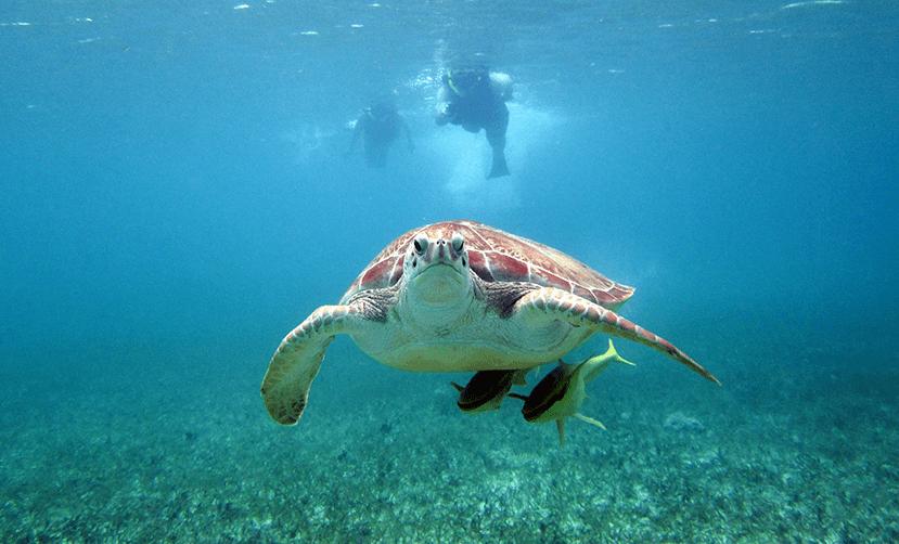 akumal bay riviera maya sea turtle