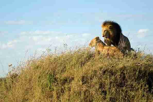 Lions-couple-northern-serengeti-safari-2