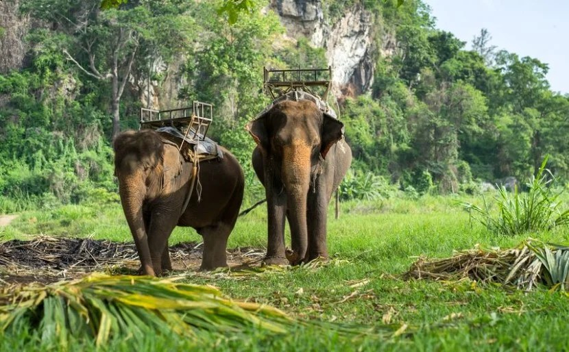 Don't visit places that offer elephant rides on chairs. Elephant spines weren't designed to carry the weight of the chair, plus people. Photo courtesy of Shutterstock.
