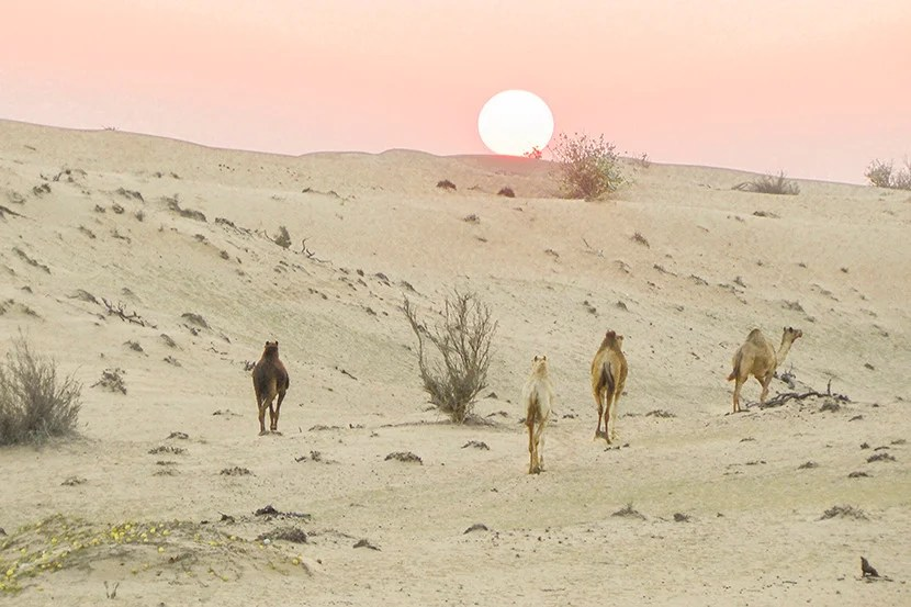 830 desert and camels