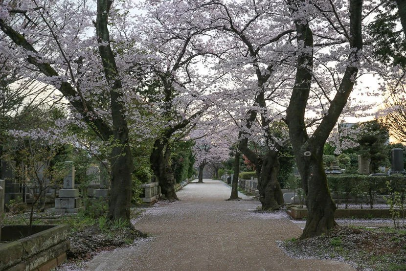 The cherry blossoms in Aoyama Cemetery were beautiful.