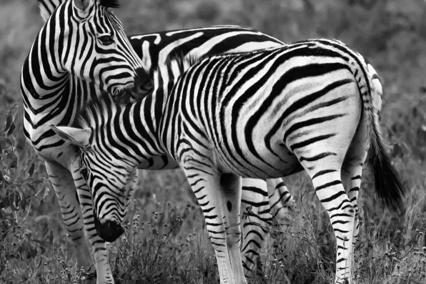 Zebra homework help