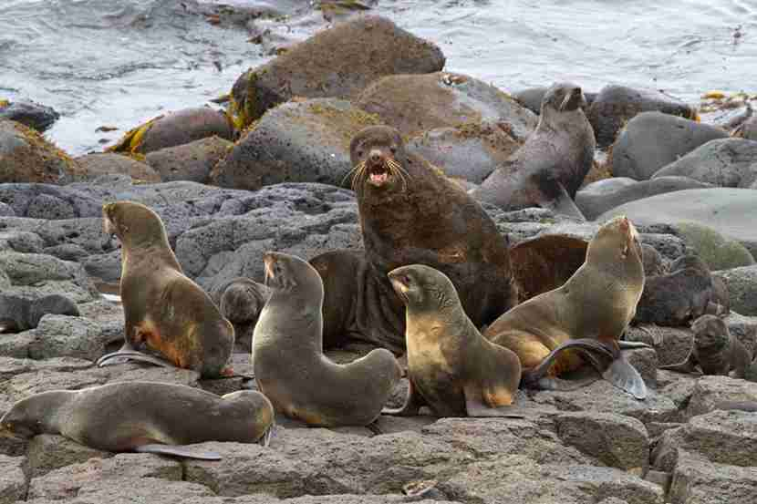 Sea lions on St. Paul Island. Image courtesy of Martha de Jong-Lantink.