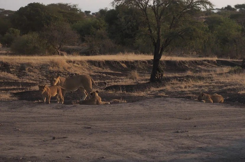 I'm so thankful I pushed for our last game drive, as seeing this family of lions was breathtaking.