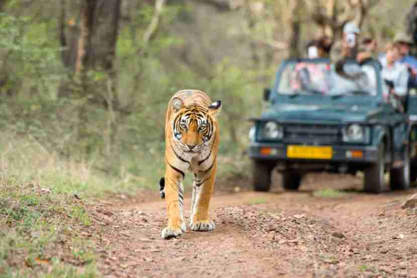 Track tigers in Rajasthan