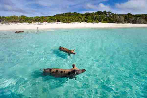 Swimming pigs of the Bahamas in the Out Islands of the Exuma. (Photo by