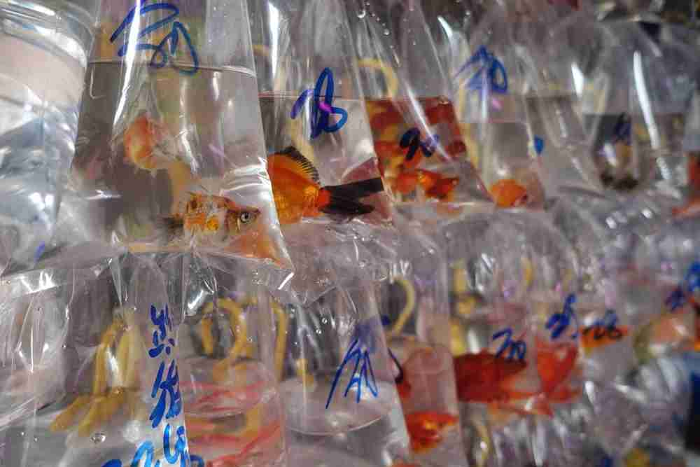 See a more local side of Kowloon with a walking tour, like the goldfish market. Photo courtesy of Lori Zaino.