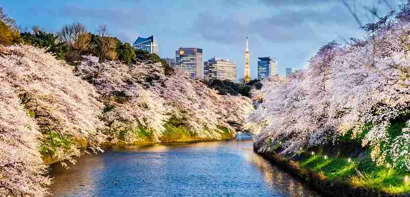 Cherry Blossoms in Tokyo with Tokyo Tower on background. Photo taken at Chidorigafuchi, Tokyo.