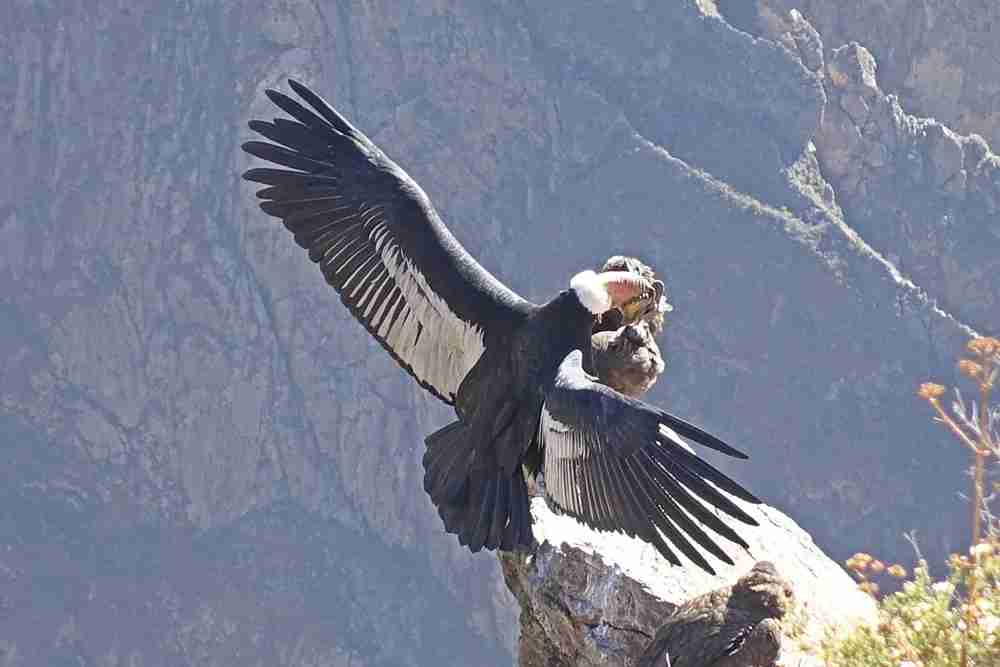 See condors up close at the Cruz de Condor viewpoint.