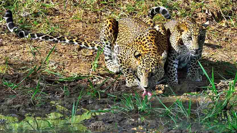 Yala is the most famous national park for leopards, but not the only one. Photo by Bruno_il_segretario / Getty Images