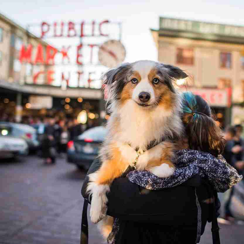 "Rusty, Miniature Australian Shepherd (8 y/o), Pike Place Market, Seattle, WA • ""His favorite thing to do is hump larger dogs. I'm still discovering all the wonderful things about him."" Photo courtesy The Dogist"