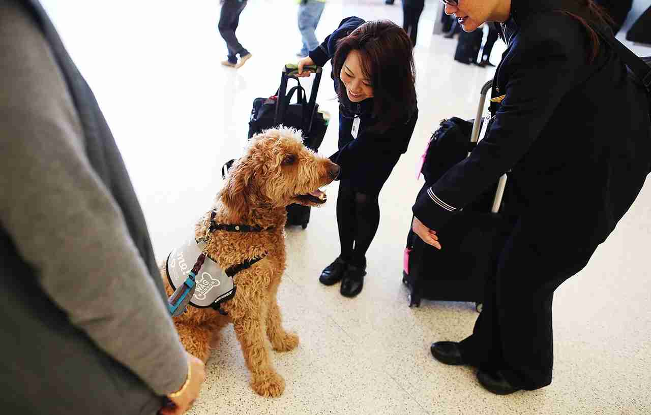 Flight attendants pet a therapy dog named Toby inside Terminal 2 at San Francisco International Airport. (Photo by Justin Sullivan/Getty Images)