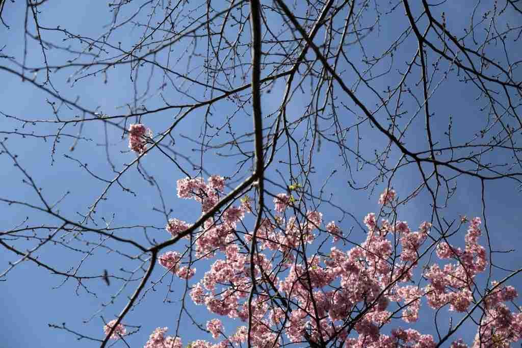 T his photo taken on March 3, 2018 shows Kawazu-Zakura cherry blossoms on Enoshima Island, Kanagawa prefecture. / AFP PHOTO / Behrouz MEHRI (Photo credit should read BEHROUZ MEHRI/AFP/Getty Images)