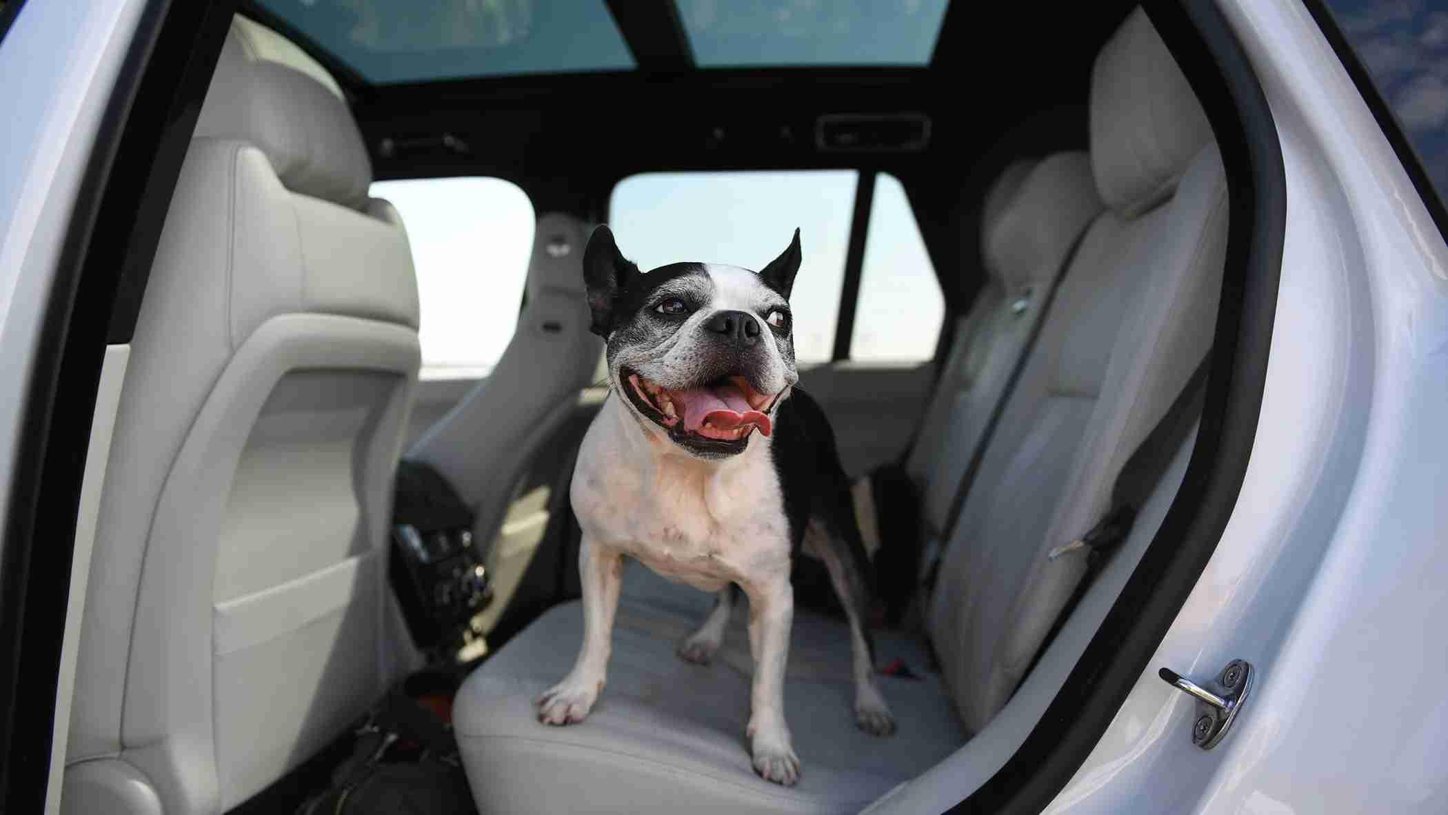 French bulldog car dog