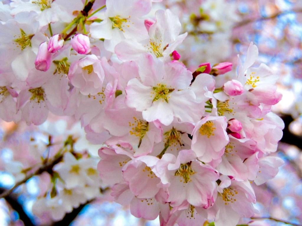 cherry blossom dc festival 2020