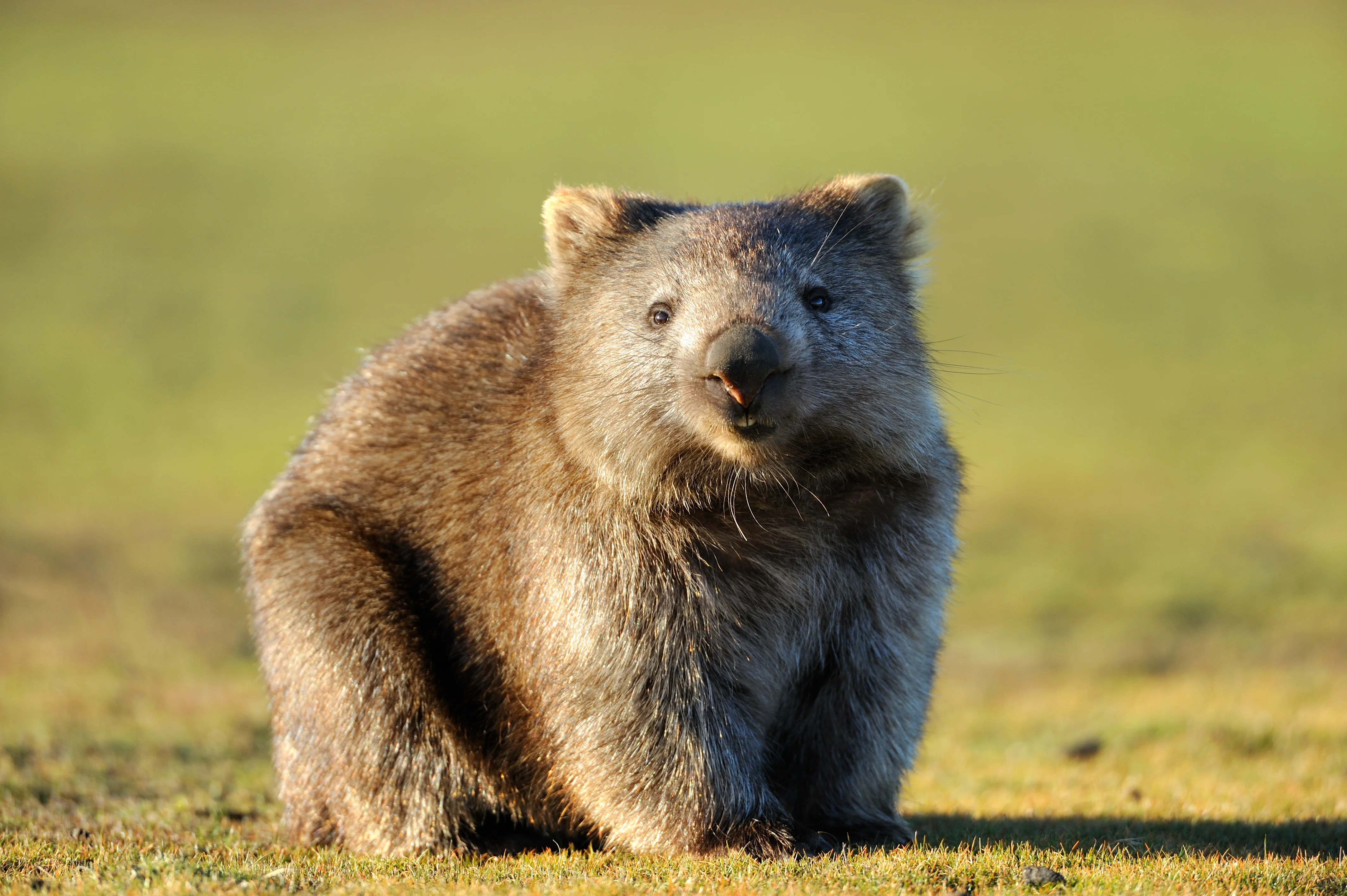 Australian Officials to Tourists: Stop Taking Selfies With Wombats