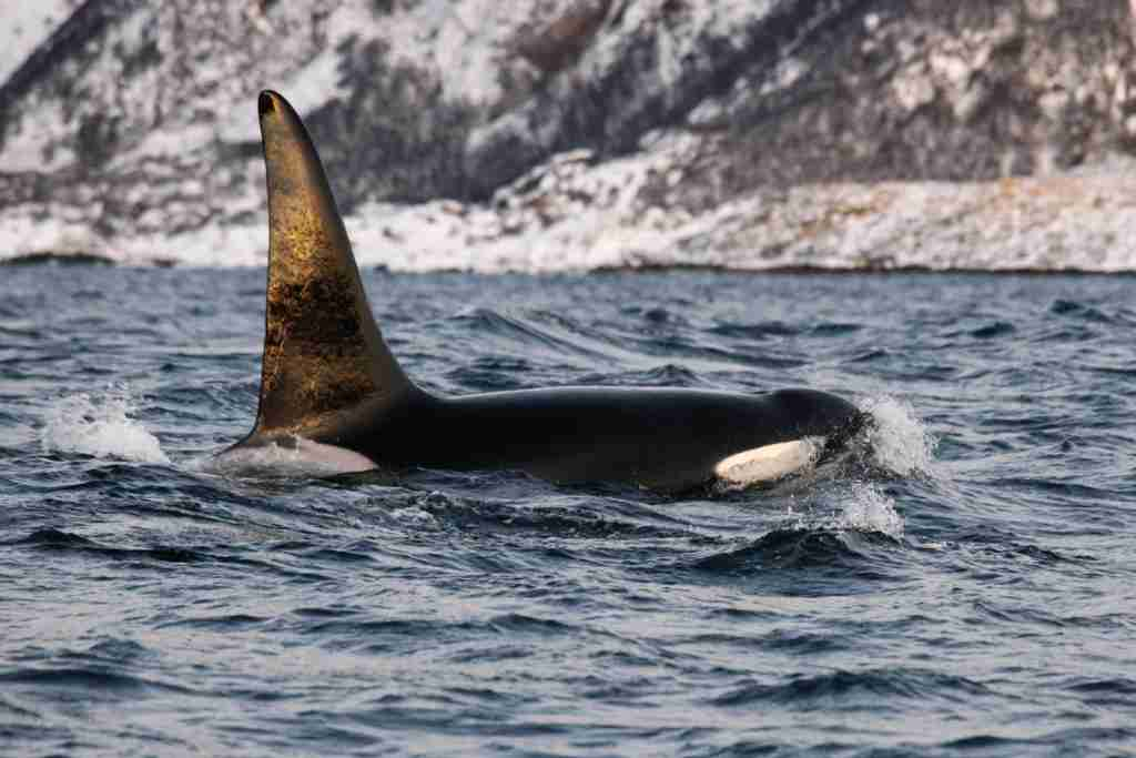 An orca whale in Norway. (Photo via Shutterstock)
