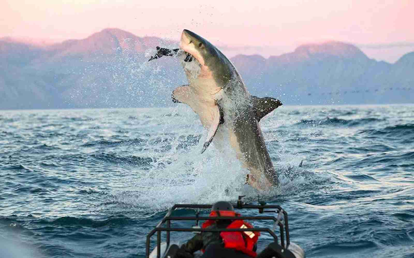 (Photo courtesy of Chris Fallows/Apex Shark Expeditions)