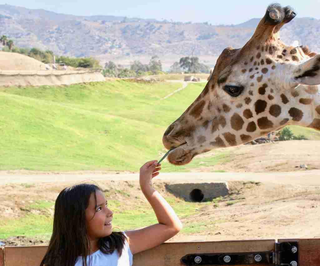 feeding giraffe San Diego Zoo Safari Park