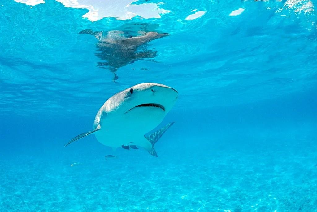 Kauai S Hanalei Bay Closes Reopens After Tiger Shark Attack
