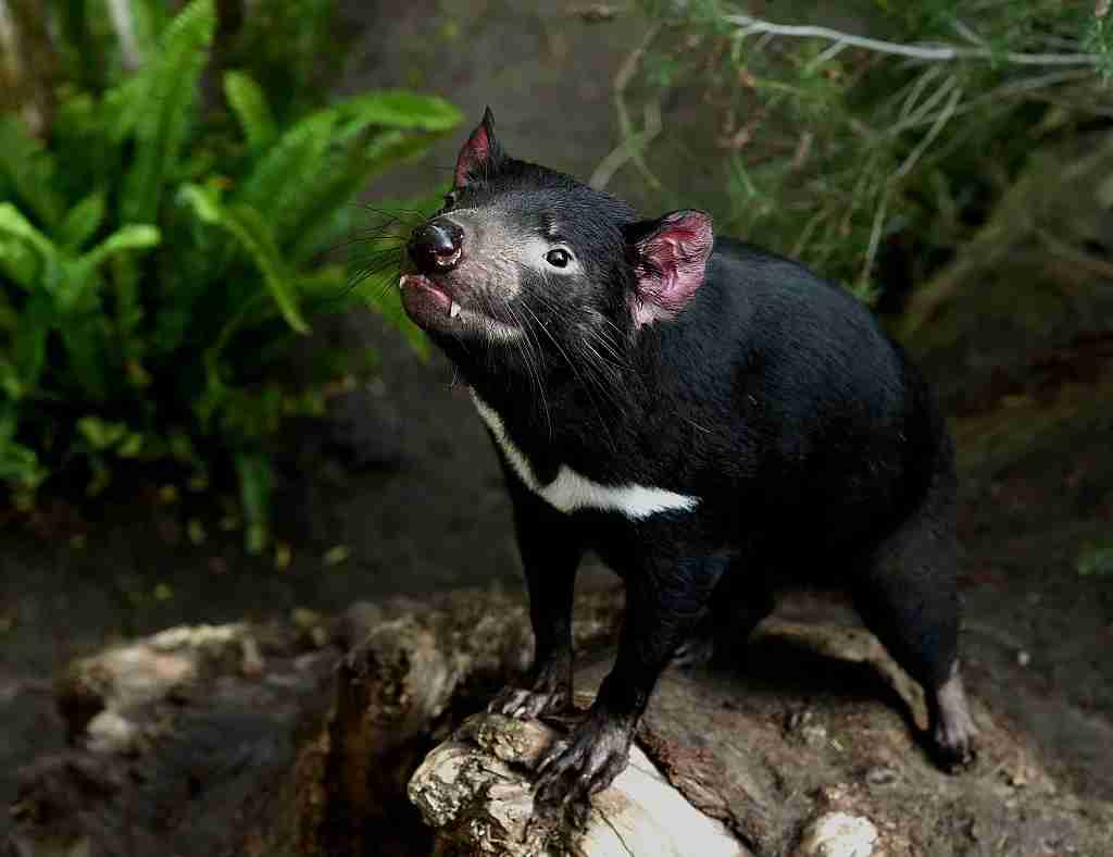 A Tasmanian Devil (Photo by Getty Images)