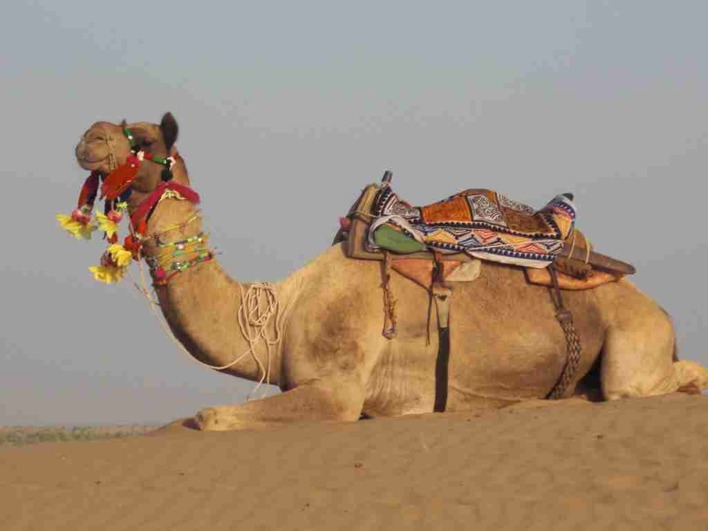 Camel in Thar Desert Rajasthan (Photo by Elen Turner)