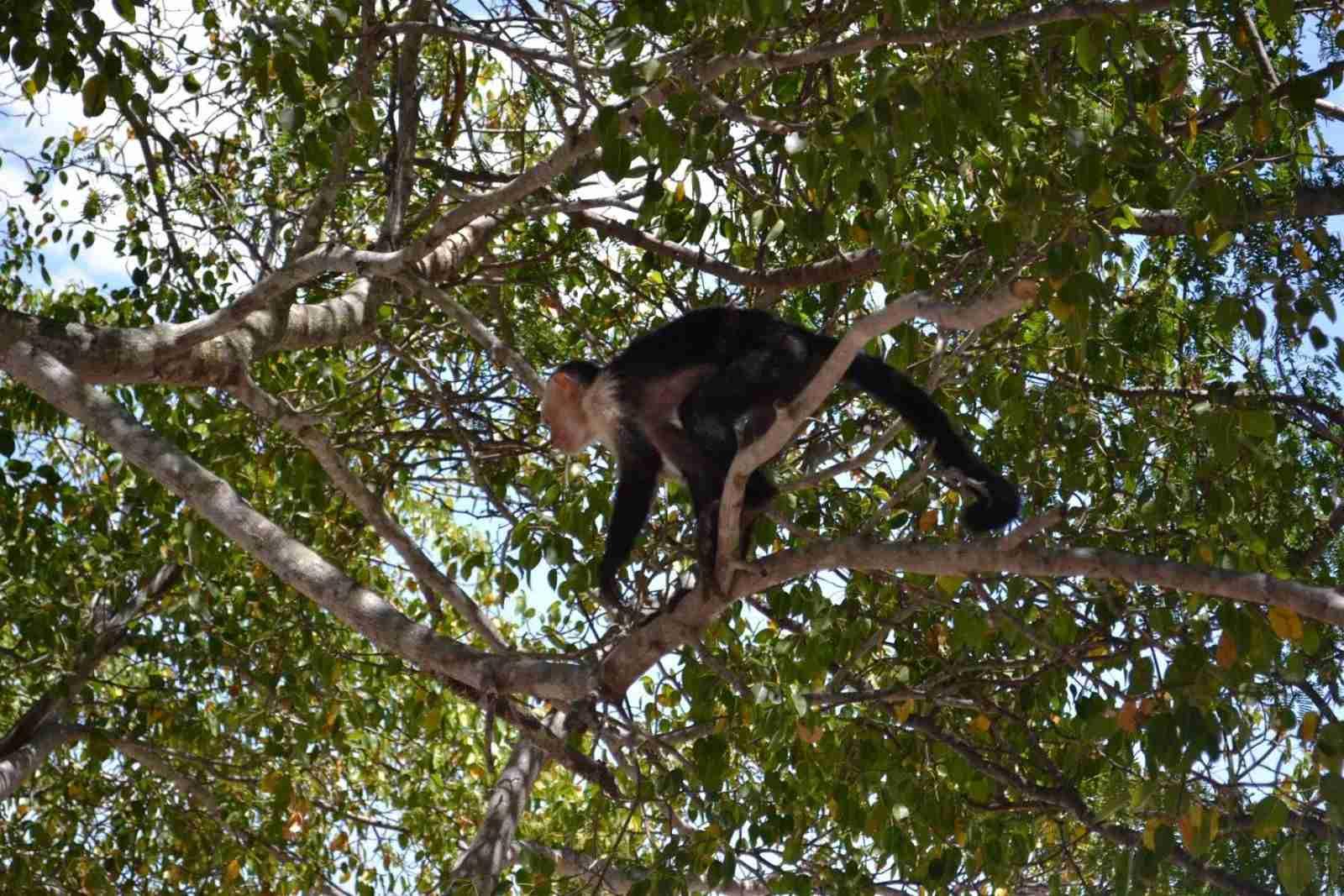 capuchin monkeys beach house