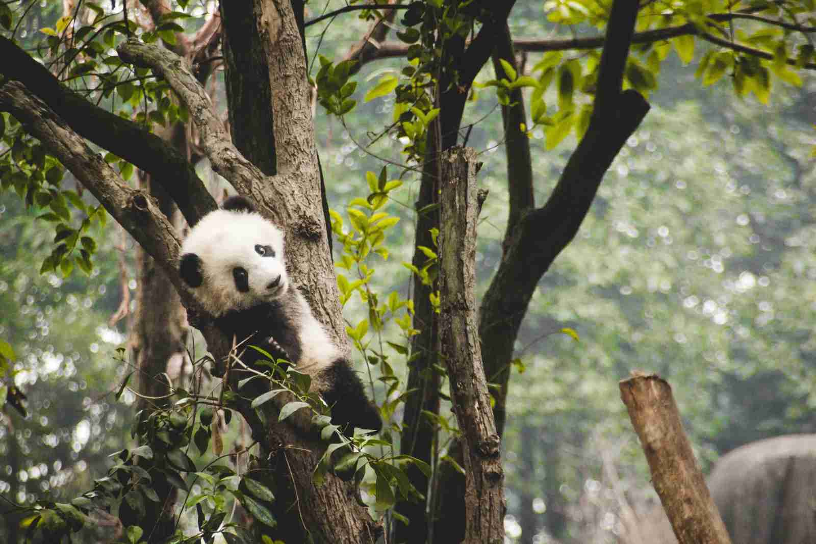 Giant pandas at a research center in Chengdu. (Photo by Theodor Lundqvist/Unsplash)