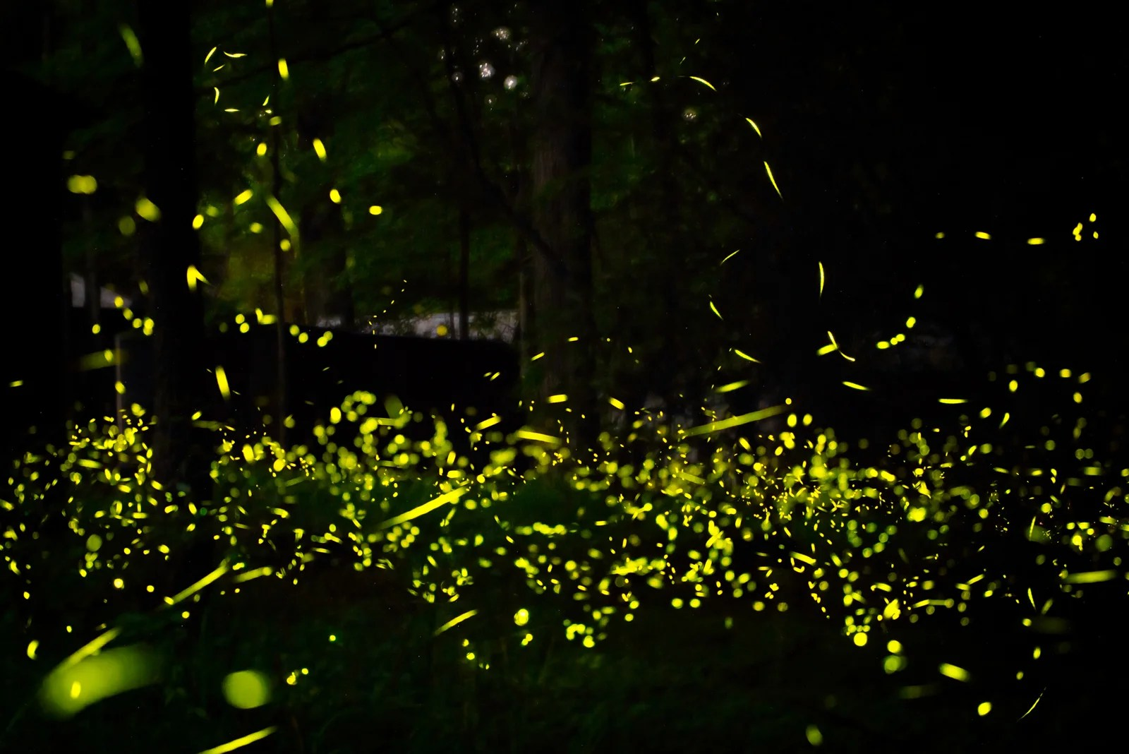 Set Your Alarms: The Lottery to See Fireflies in the Great Smoky Mountains Opens Friday