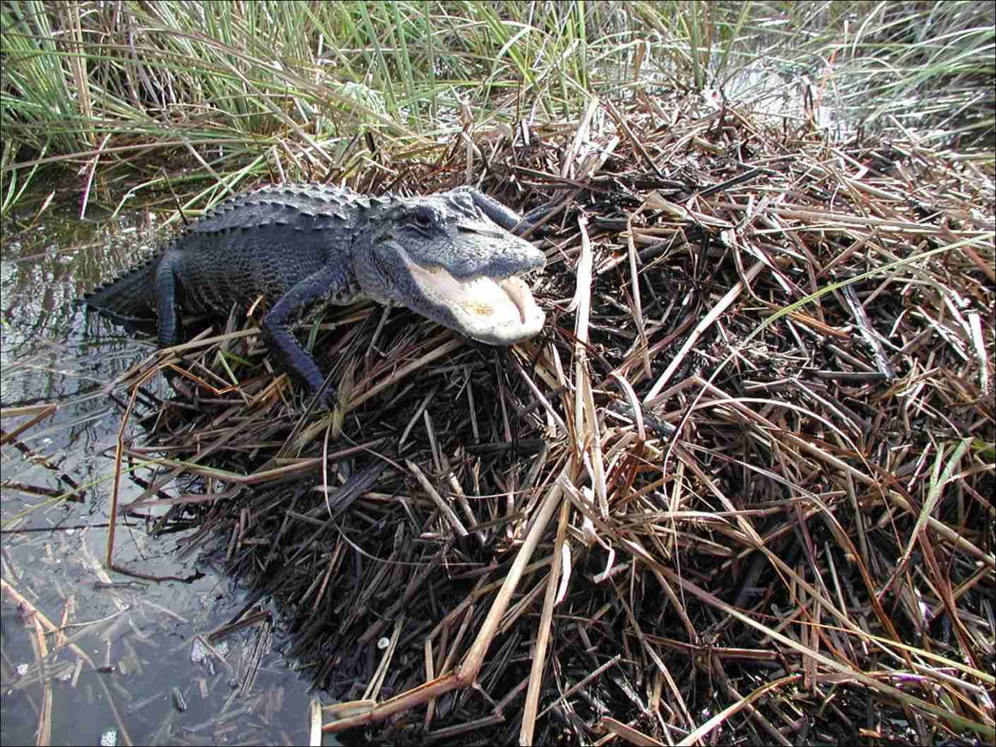 Everglades National Park Alligator