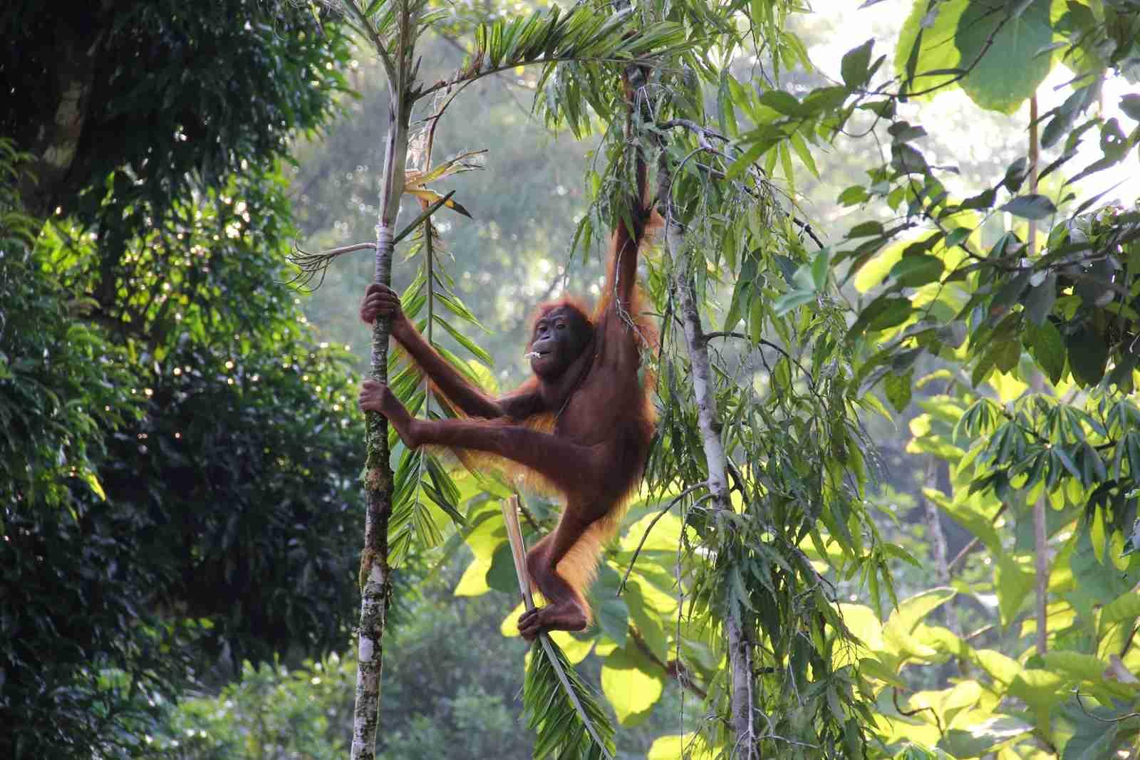 Orangutan in the Borneo rainforest. (Photo by Fish Ho Hong Yun / Shutterstock)