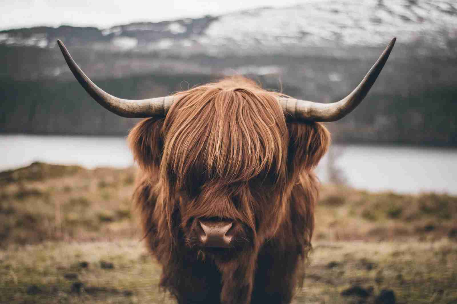 A Scottish Cow. (Photo by Stefan Krzinger/Getty Images)