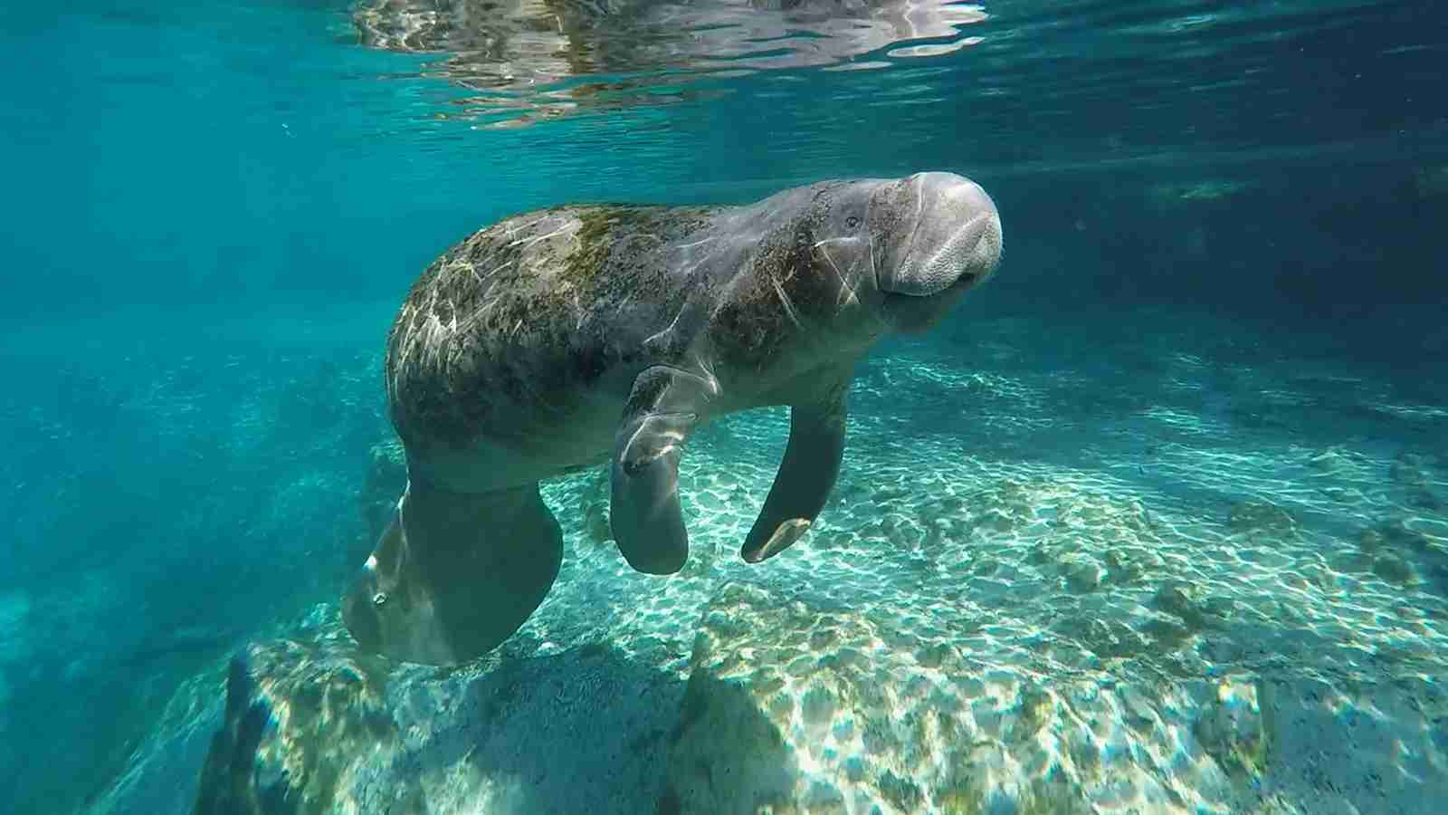 Look for manatees in Florida. (Photo courtesy of Visit Florida)