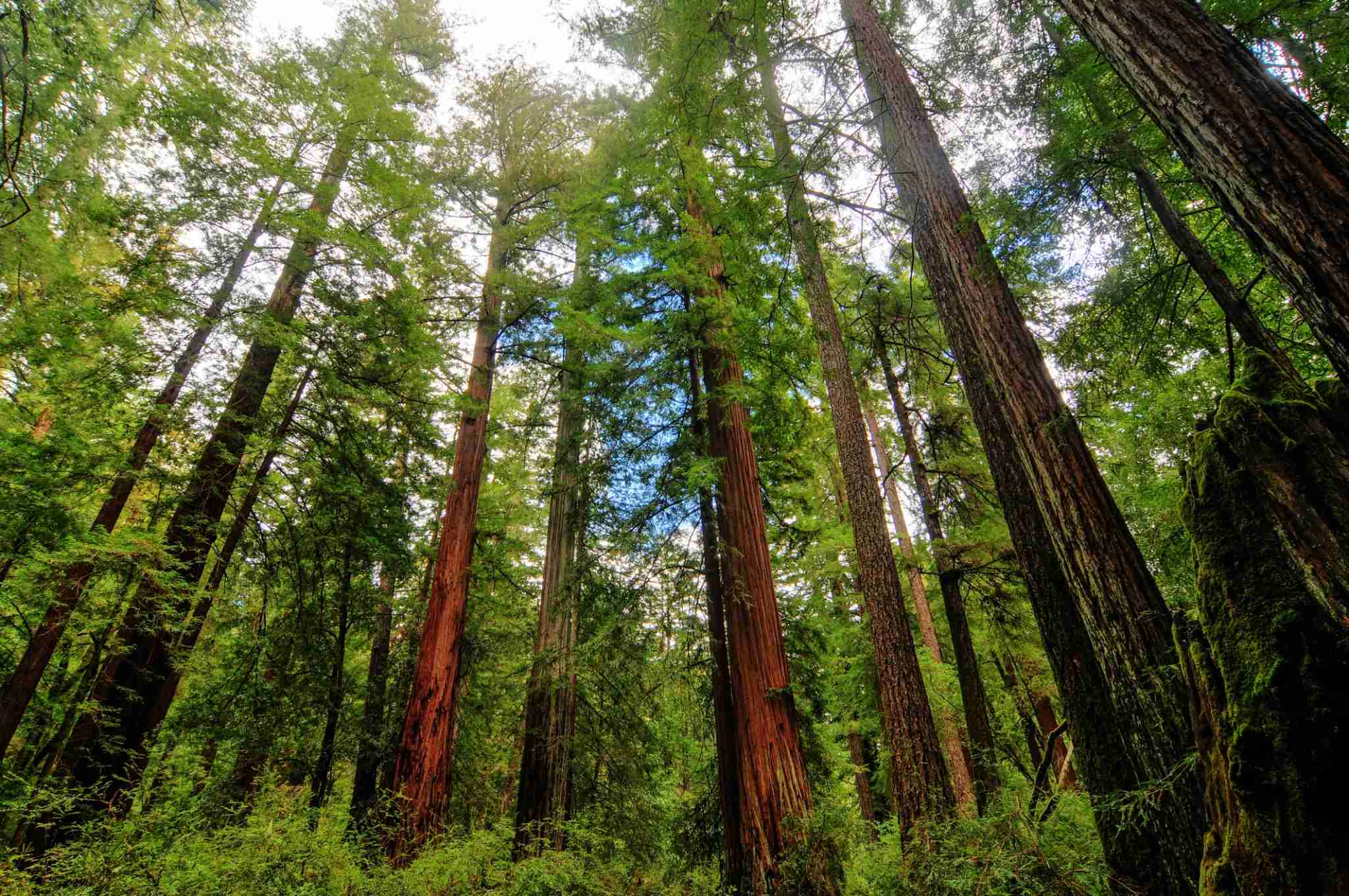 Sequoia trees in Big Basin Redwoods State Park. (Photo by demerzel21/Getty Images)