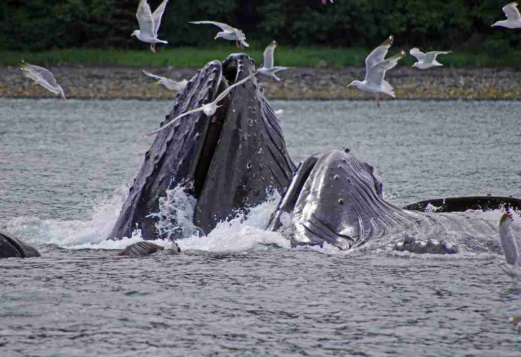 Humpback whales feeding are the highlight of a whale-watching tour out of Juneau. (Photo by Reinhard Pantke)