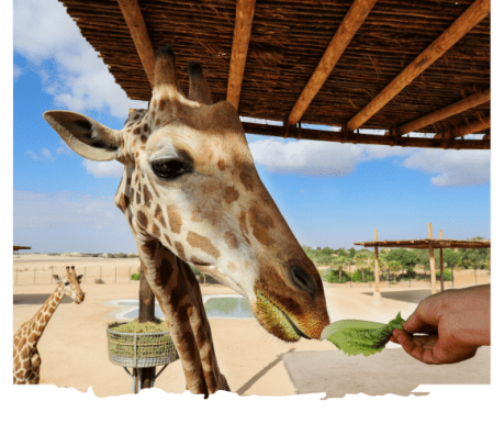 al ain zoo offer experiences giraffe feeding uae