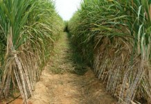 Sugar output likely to decline to 30.5 MT