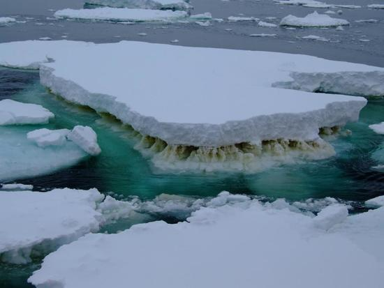 Sea ice in Antarctica showing a brown layer of algae.