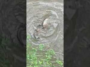 Platypus rejoicing with the rain