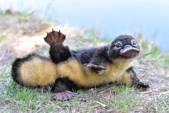 Platypus baby!