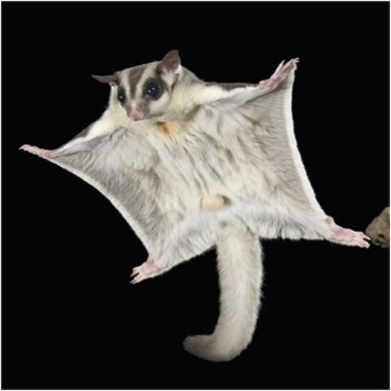 Australian DNA study finds two new species of Greater Glider, and they're adorable.