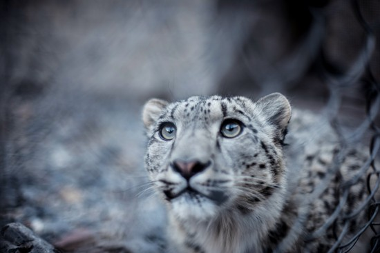 Mongolia is home to the second largest population of snow leopards in the world, second only to China.
