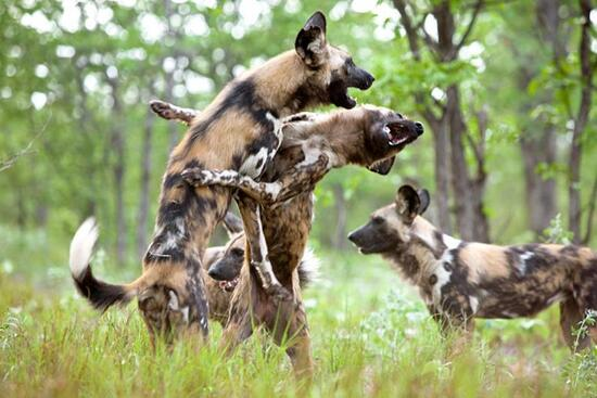 Highly endangered African Wild dogs. at play.