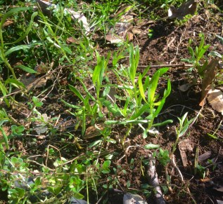 Tarragon just beginning to emerge this spring