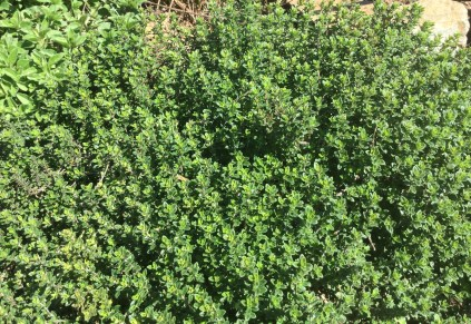 Fresh Thyme in the garden