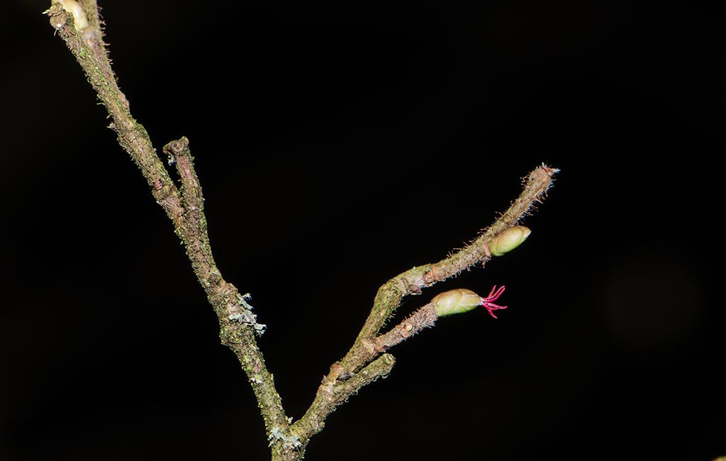 The red female hazel flower